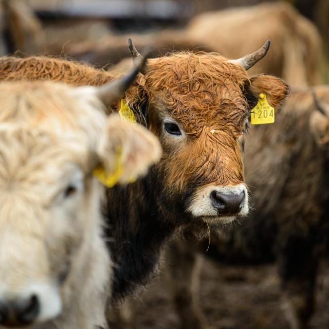 Krava na farmi, Ilustracija
