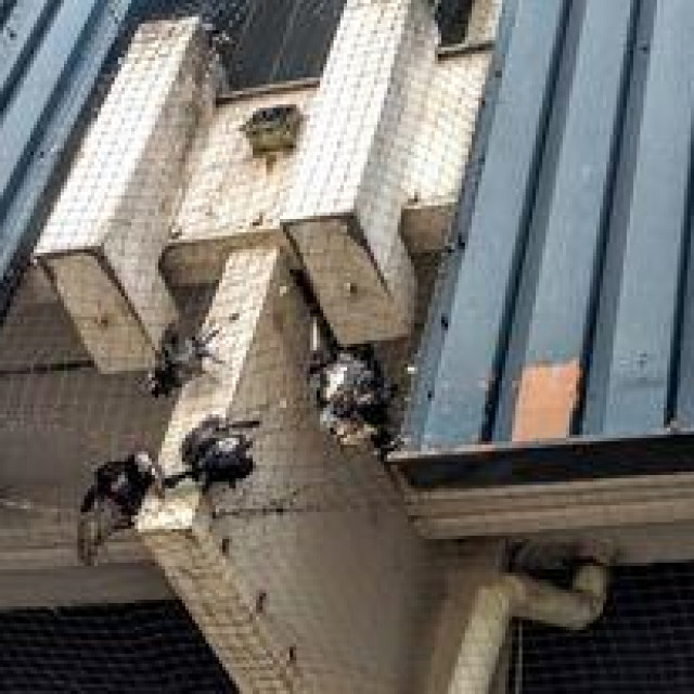 Golubovi uhvaćeni u mrežu