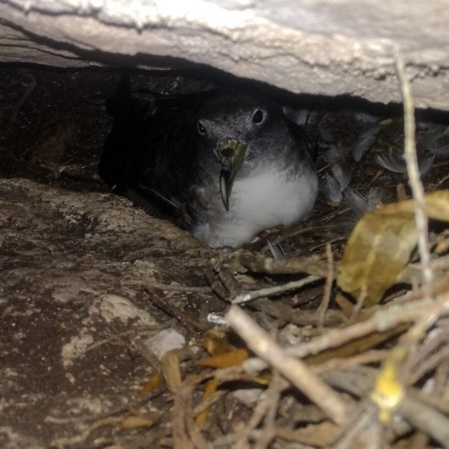 Kaukal u gnijezdu