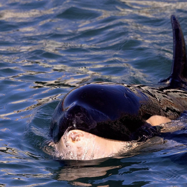 Mladunac kita ubojice, Toa