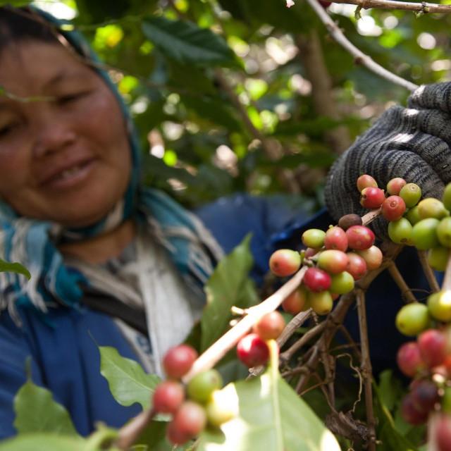 Farma kave na Tajlandu