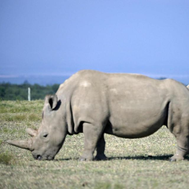 Ženke sjevernog bijelog nosoroga Najin i Fatu u rezervatu u Keniji