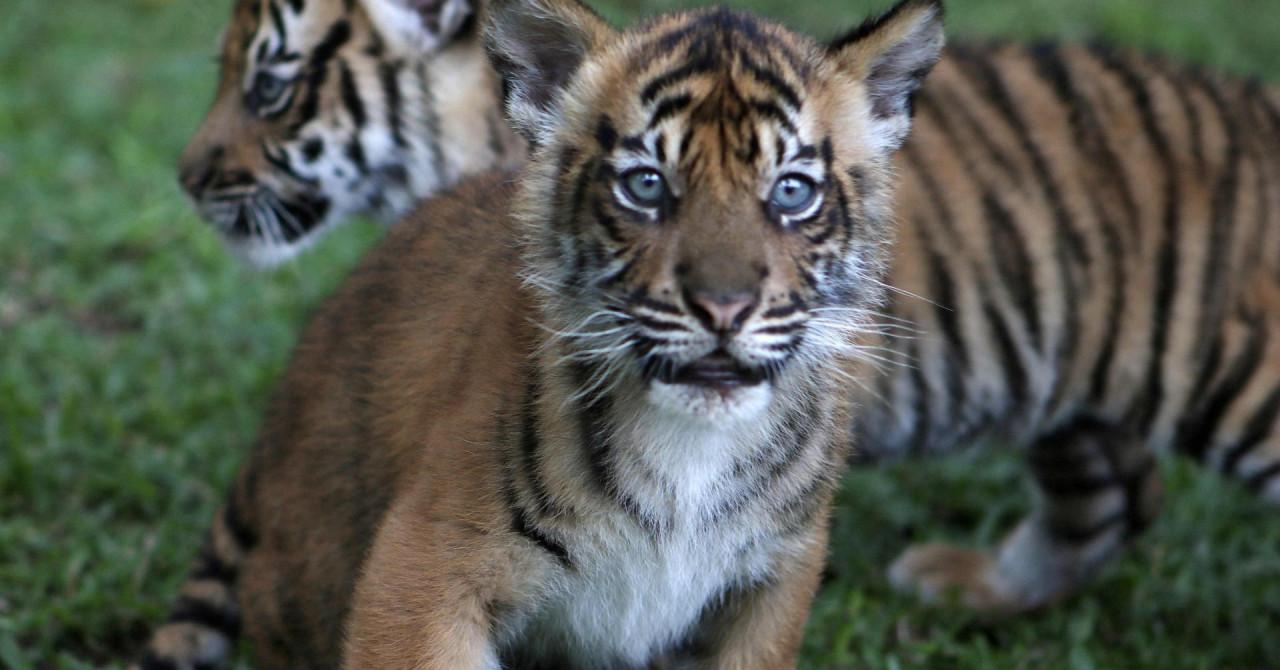 tino i hari živnuli nakon gotovo 2 tjedna: sumatranski tigrovi iz zoološkog vrta u jakarti oporavili se od covida