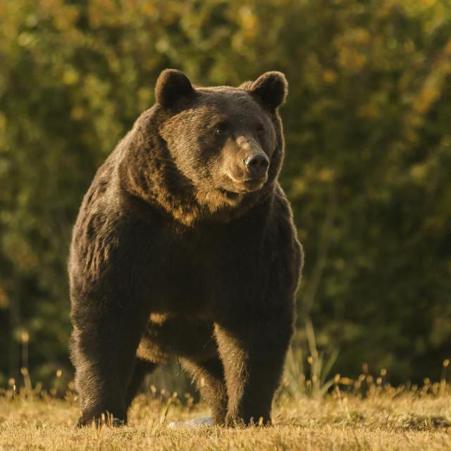 Medvjed Arthur