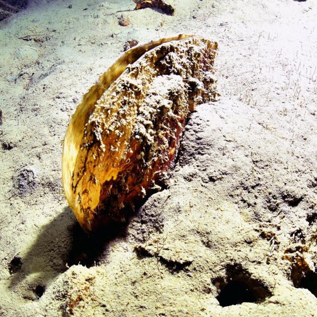 Živa periska pronađena u olupini broda Baron Gautsch (krvousti glavoc)