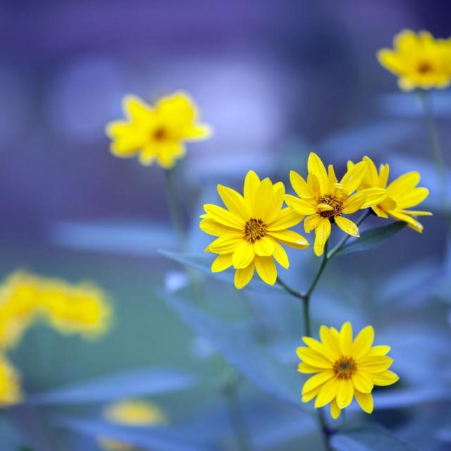 Prepoznatljiva je po nježnim žutim cvjetovima.