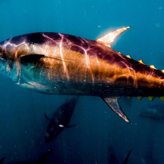 Plavoperajna tuna