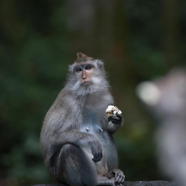 Sivi dugorepi makaki u rezervatu Šuma majmuna Sangeh