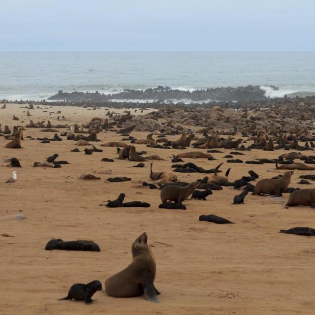 Tuljani na obali
