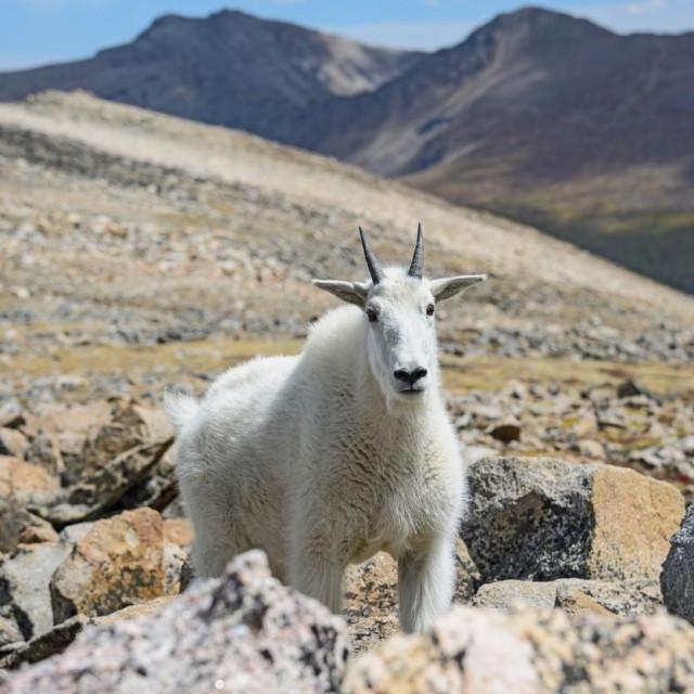 Planinska koza, Ilustrativna fotografija