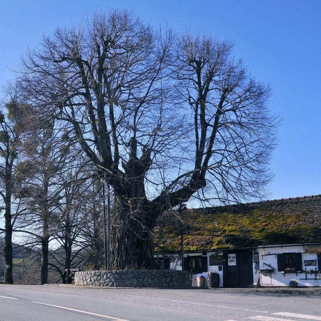 Gupčeva lipa u Gornjoj Stubici, nominirana za Europsko stablo godine 2019.<br /> <br /> <br /> <br />