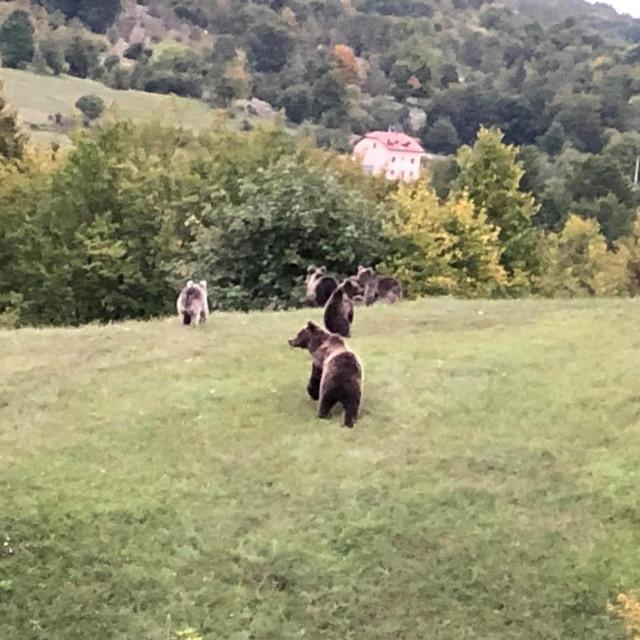 Medvjedi u igri