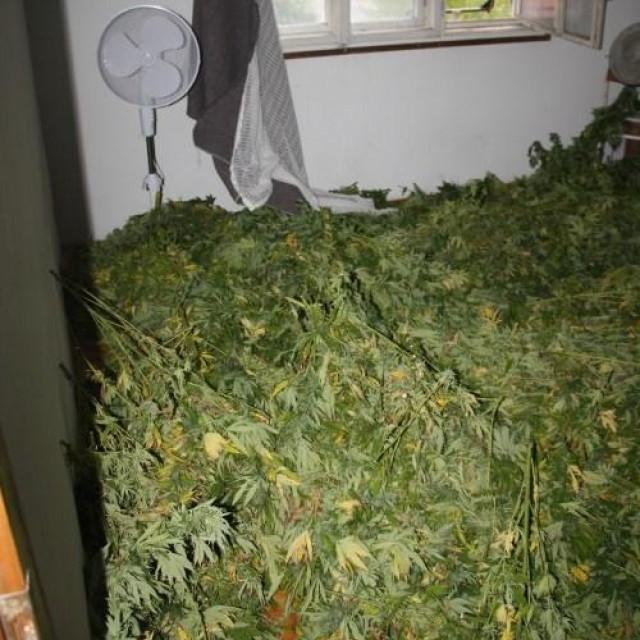Sušenje i pakiranje marihuane
