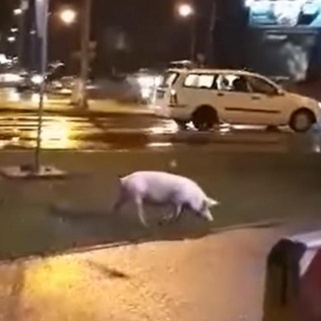 Svinja na kružnom toku u Banja Luci