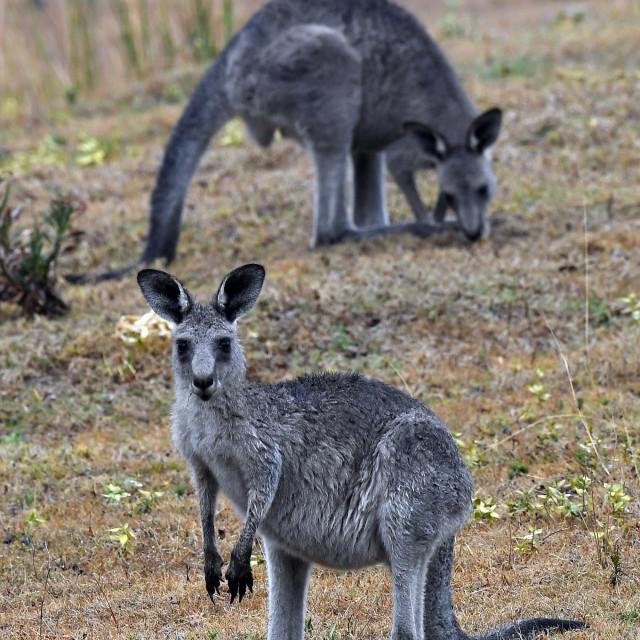australski klokani
