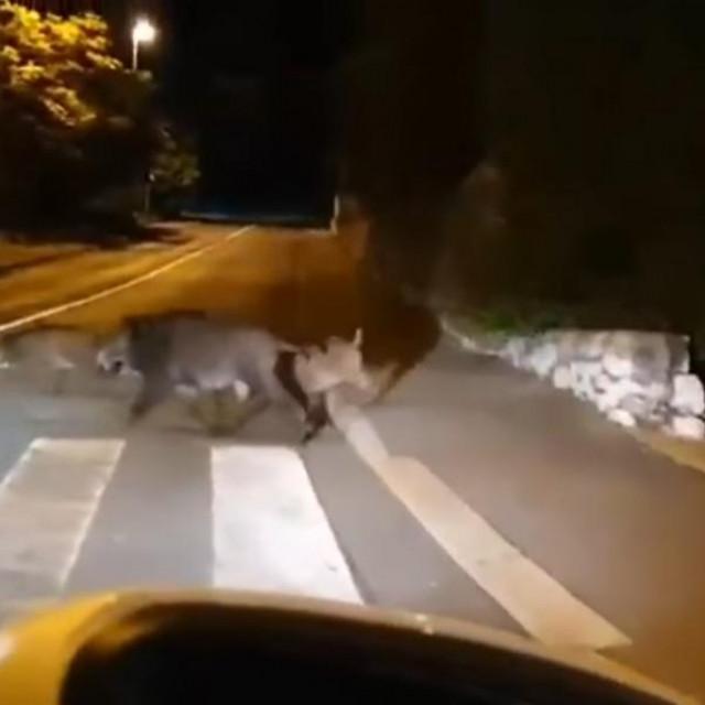 Divlje svinje na ulici