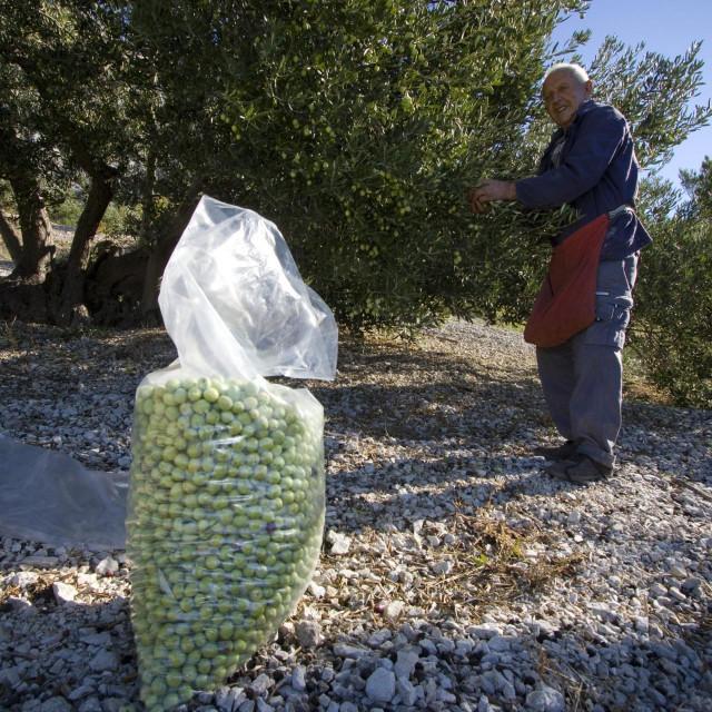Berba maslina na makarskom području